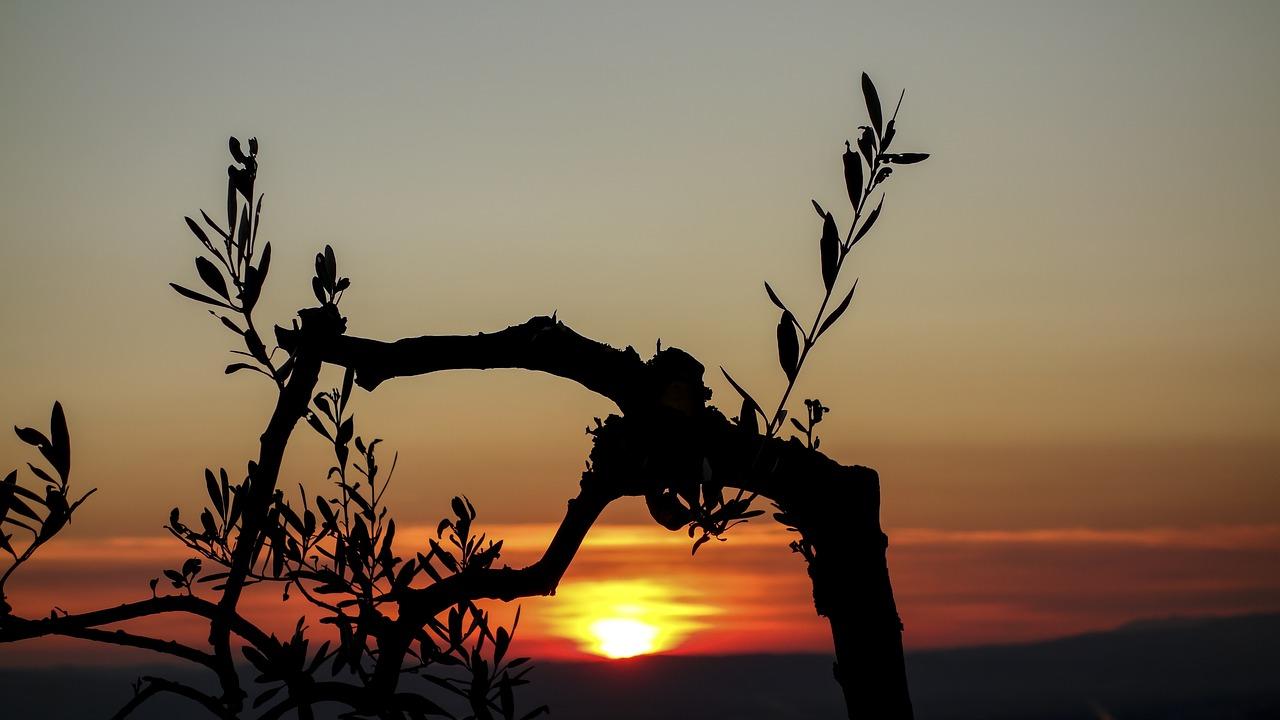 Olivenbaum-Meditation